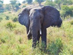 Elephant, Safari in Tanzania