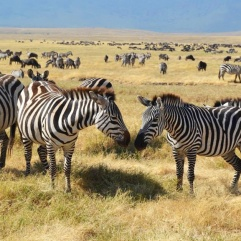 Zebras, Safari in Tanzania